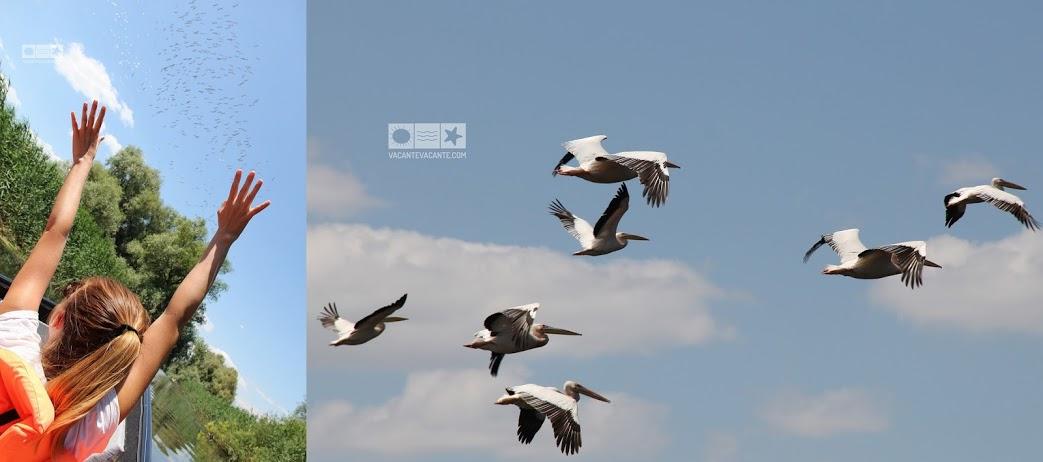 pelicani, Delta Dunarii