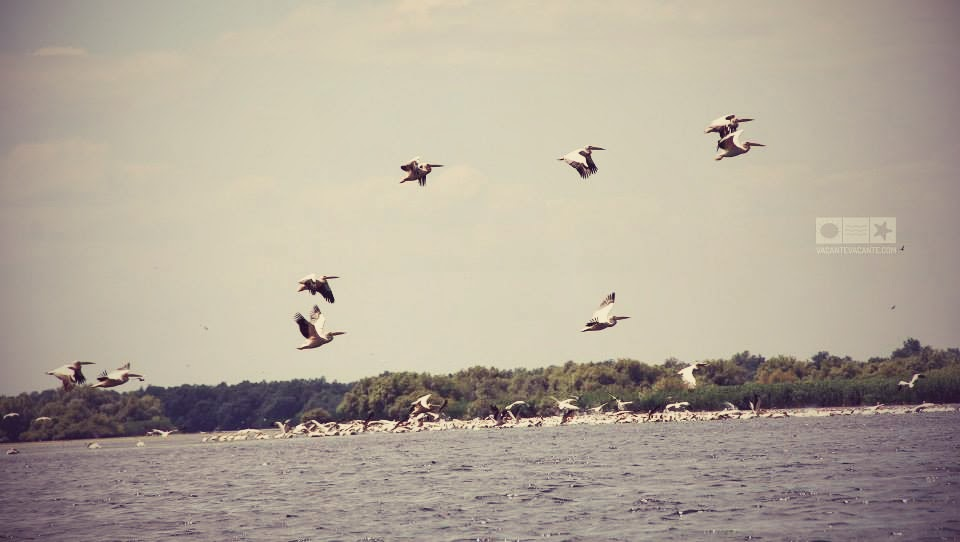 pelicani delta (1)
