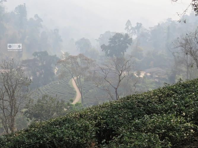 plantatii de ceai, chiang rai