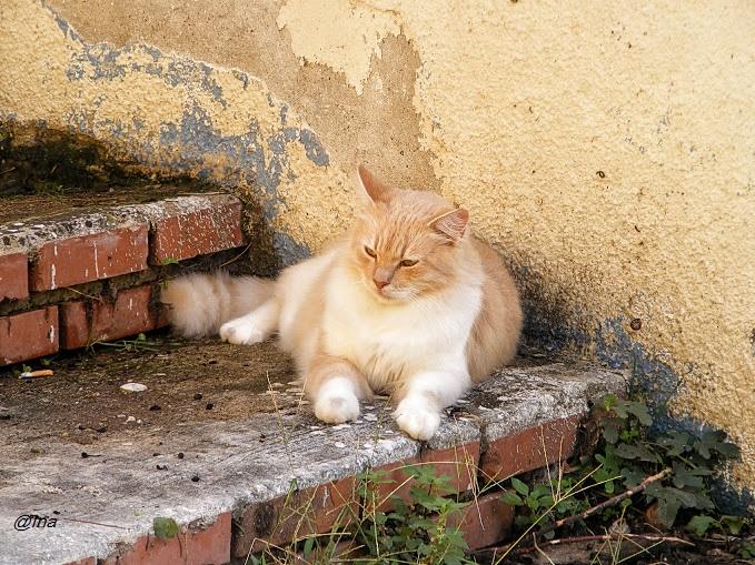 pisici de turcia