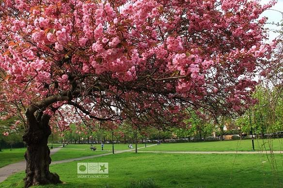 Londra, în vremea cireșilor