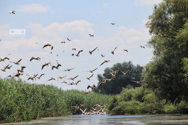 colonie pelicani