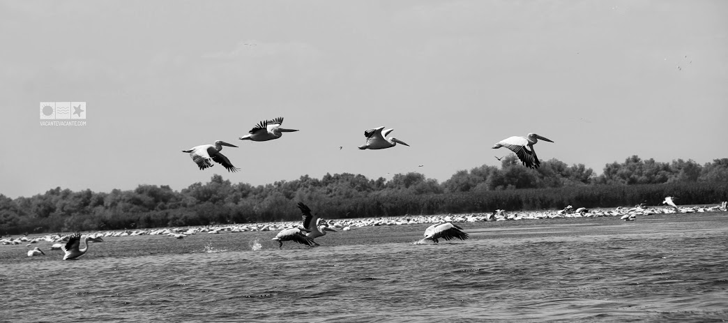 delta, pelicani